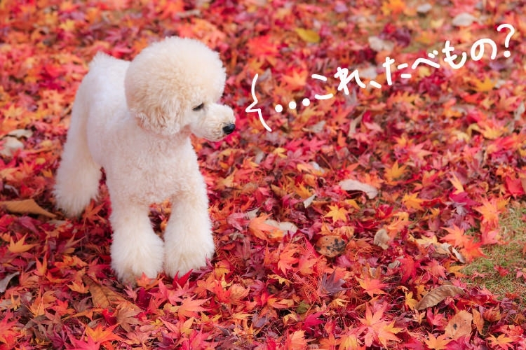 """""""日本一遅い紅葉""""を愛でる「ワンちゃんの入場OK 熱海・伊東で紅葉狩り旅」@熱海、伊東(静岡県)"""