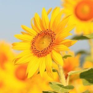 黄色い絶景を見に行こう。ひまわりの名所4選