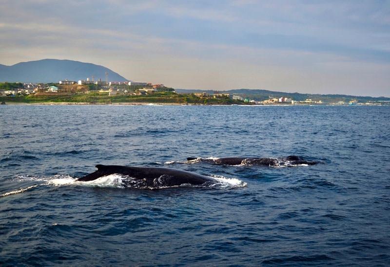 北極圏から日本にやってくる! ザトウクジラの旅路と日本でのシーズン