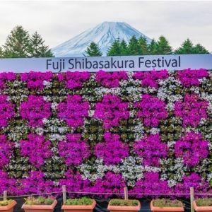 もう行った?ピンクに染まる「富士芝桜まつり」