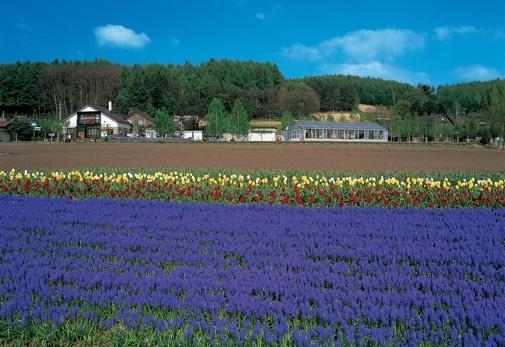 これぞ北海道の夏!富良野の「ファーム富田」へ①夏が見ごろのラベンダー