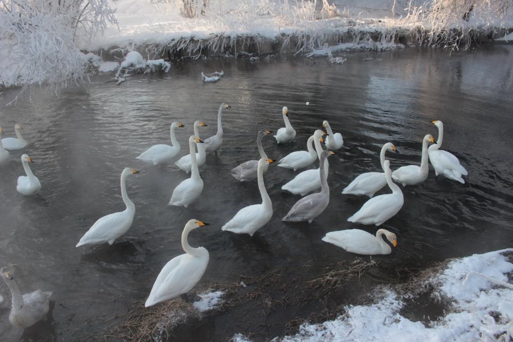 白鳥の飛来を観察できるのは冬ならでは