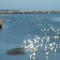 多くの白鳥が訪れる潟として有名。「邑知潟」の魅力と見どころって?
