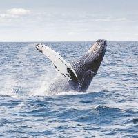 野生のクジラを間近で観察!「ホエールウォッチング」の魅力とは?