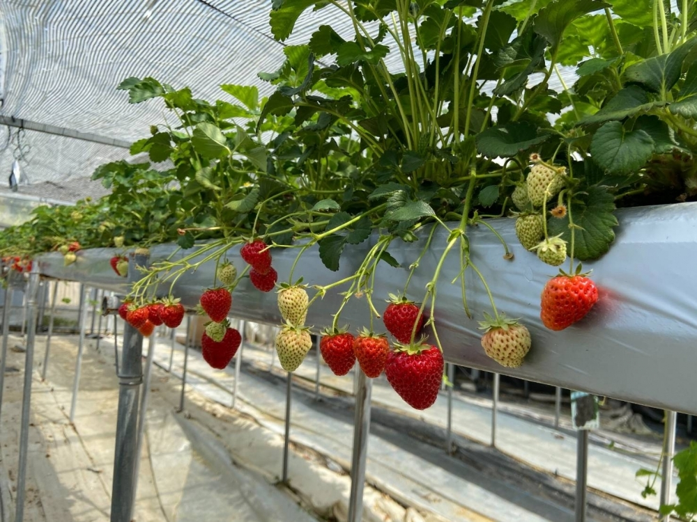 イチゴがすくすく育つ環境