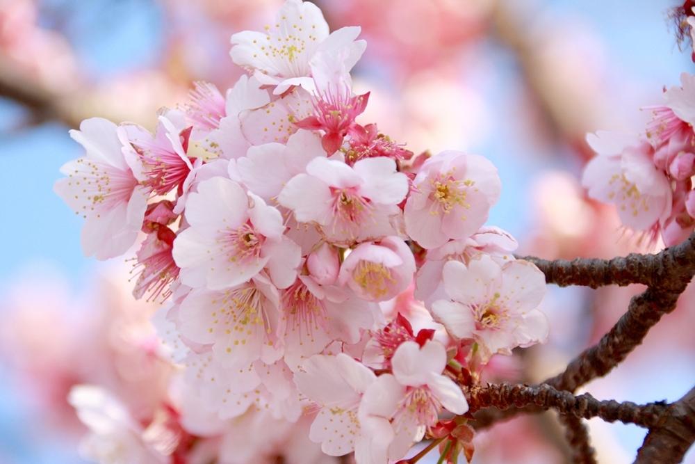 ひと足先に満開! 日本で最も早咲きの「あたみ桜」
