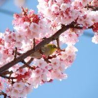 【静岡】冬に早咲き桜を満喫! 熱海でおすすめのゲストハウスと周辺スポット