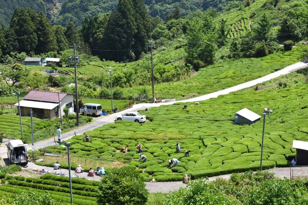 茶畑の最盛期は5月、6月!