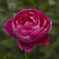 【茨城】4月29日に「茨城県フラワーパーク」がリニューアルオープン! 17種のバラの新品種を初お披露目中