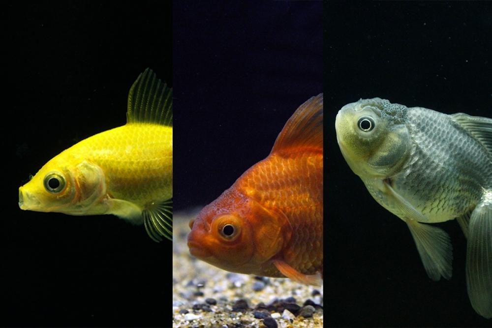 黄色や青の金魚も登場!「金魚いろくらべ」