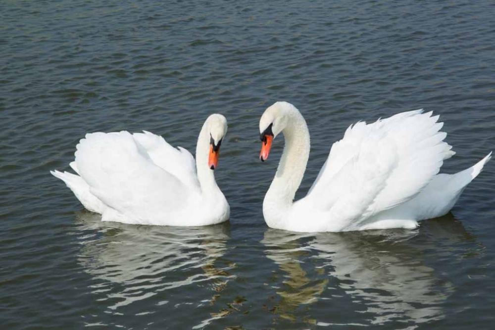白鳥の優雅な泳ぎに癒される