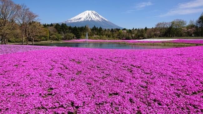 富士山のふもとに約52万株の芝桜が咲き乱れる春の風物詩