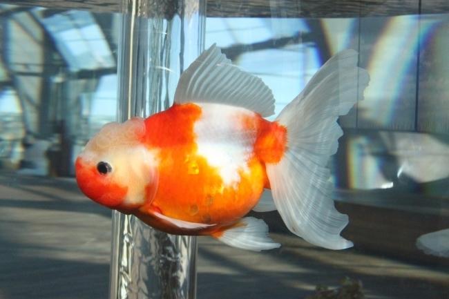「桜東錦」など、優雅な名前の金魚たちに会える