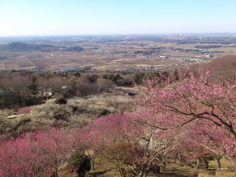 標高250mから1,000本の梅と関東平野を同時に