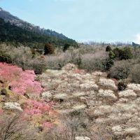 1,000本の梅と関東平野の絶景。「筑波山梅まつり」2月14日~開催