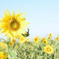 なんと11月下旬までひまわり畑が!愛知・南知多「観光農園花ひろば」とは