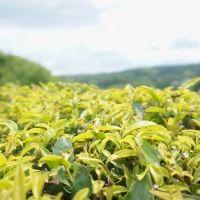 """【日本ならいごとの旅 第1回】大和茶の産地で""""世界一""""に輝いた紅茶作りを学ぶ"""