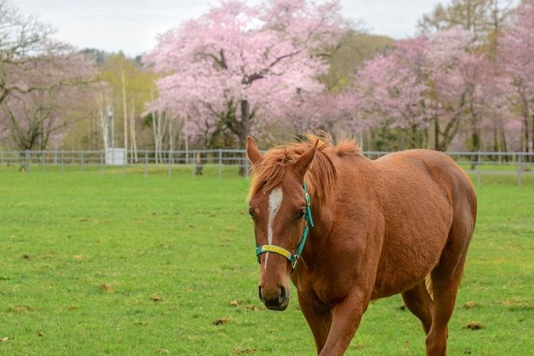 北海道の大自然に抱かれた、競走馬のメッカ