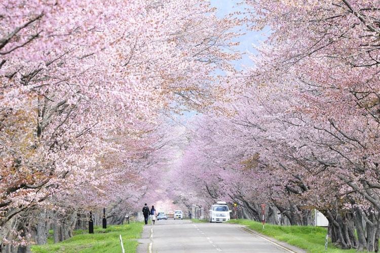 北海道有数の美しさを誇る「優駿の里 浦河桜まつり」