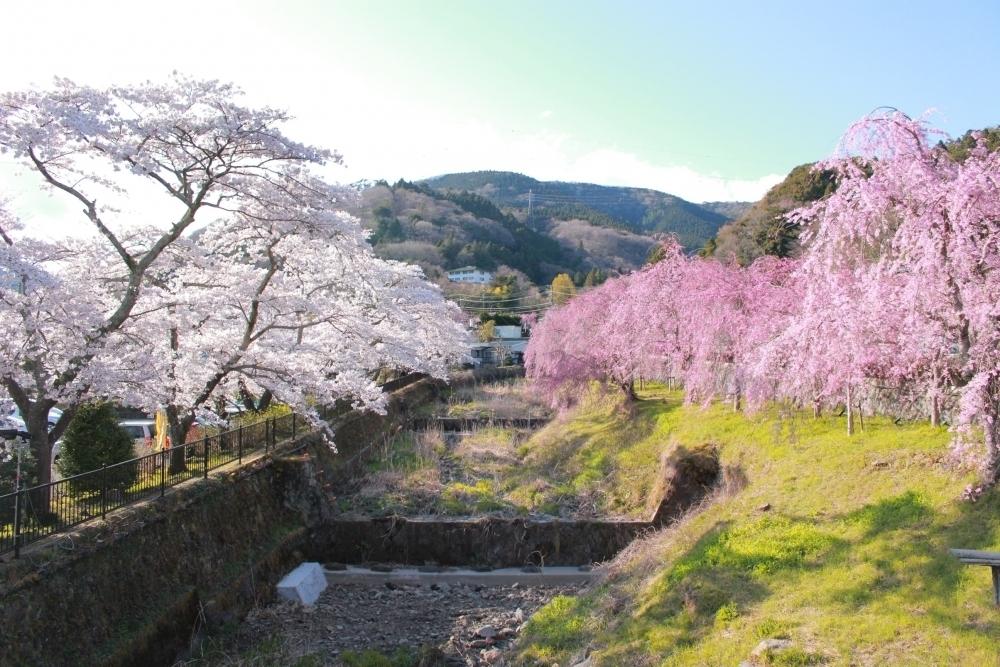 花見会場は桜の名所・宮城野