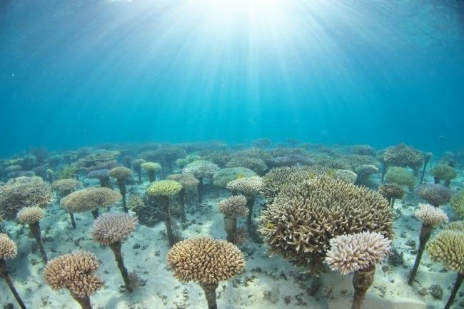 サンゴ保護活動をしよう