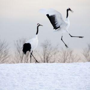 北海道・釧路湿原へ、タンチョウに会いに行く旅はいかが?