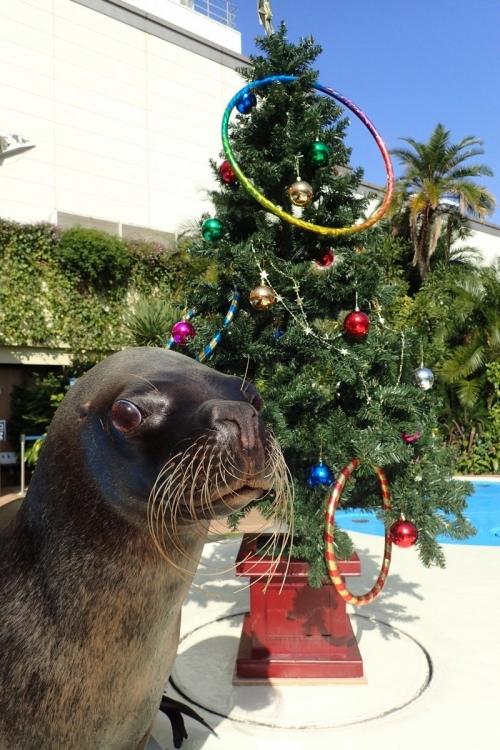 SUNSHINECITY COLORFUL CHRISTMASの見どころ④クリスマスバージョンのアシカ・パフォーマンスタイム