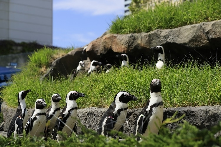 世界初展示「草原のペンギン」には赤ちゃんも!
