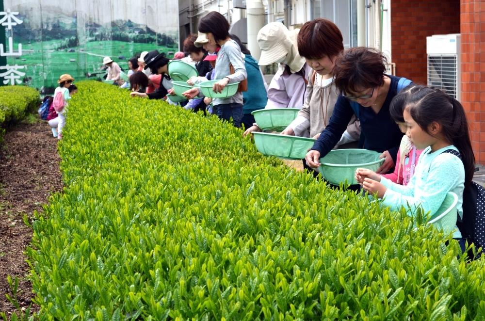 お茶の樹や葉に直接触れる!「新茶摘み体験ツアー」とは
