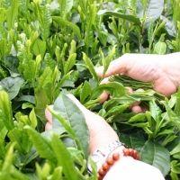 お茶詰め放題も!春は静岡駅から15分の「新茶摘み体験ツアー」へ