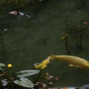 この透明感、どうして!?岐阜県の美しすぎる「モネの池」とは