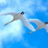 毎年3,000羽もの白鳥が訪れる。「佐潟」を楽しむ3つのポイント
