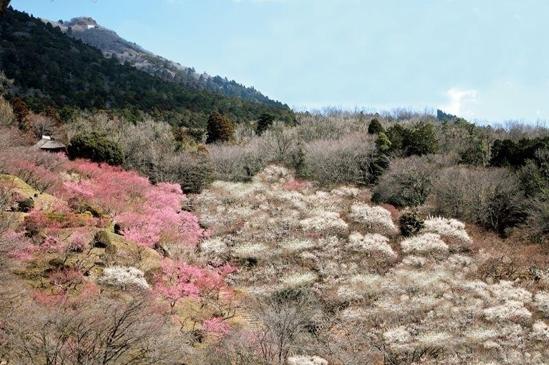 【イベント】筑波山の早春の風物詩である梅まつり(茨城県・つくば市)
