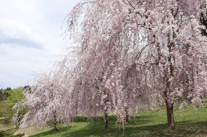 7本のしだれ桜をひとり占め! 津軽三味線も演奏できる「界 津軽」