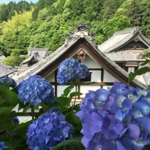 「紫陽花の押し花朱印」も。約5,000株が咲き誇る「あじさいウイーク」 開催その0