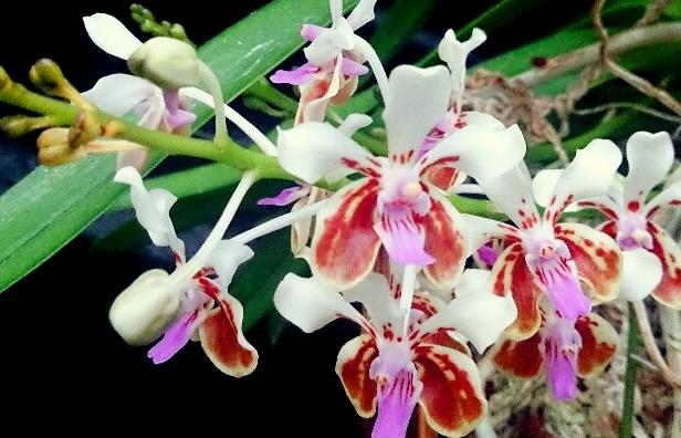 1月からは「青い胡蝶蘭の滝」と幻の蘭が登場!ハウステンボスで「大胡蝶蘭展」が開催中その2