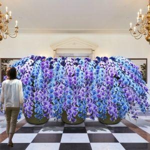 1月からは「青い胡蝶蘭の滝」と幻の蘭が登場!ハウステンボスで「大胡蝶蘭展」が開催中