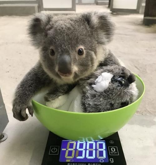 名前の募集は4月7日まで! コアラの赤ちゃん(平川動物公園)
