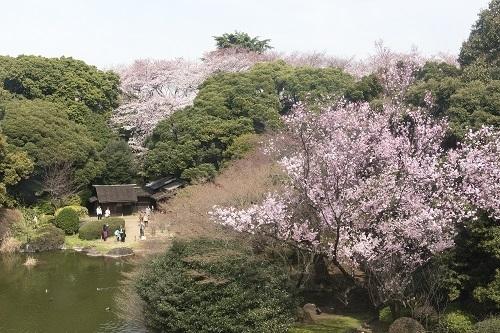本物の桜ももちろん鑑賞できます!