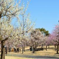 関東最多級! 小田原で約200品種480本の梅が咲き誇る梅まつり