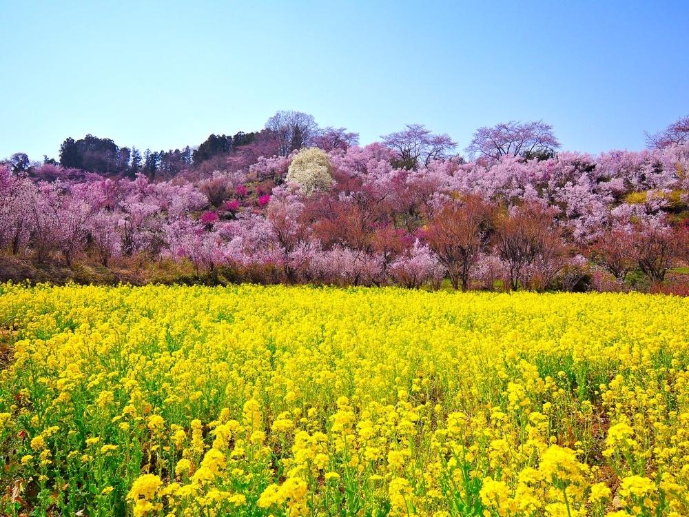 おすすめ観光スポット②花見山