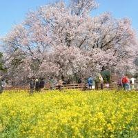お花見は遠出してでも見たい絶景が広がる場所へ。九州のおすすめ桜名所4選