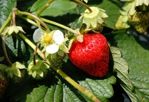 6月下旬開園!フレッシュなイチゴがお待ちかね