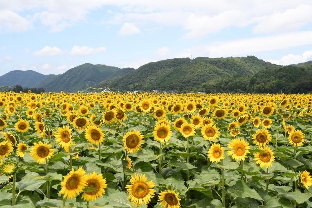 【兵庫】町全体がひまわり畑に「南光ひまわり祭り」