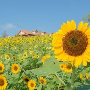 一面の黄色い絨毯を見にいこう。関西で楽しめる夏のひまわりイベント3選