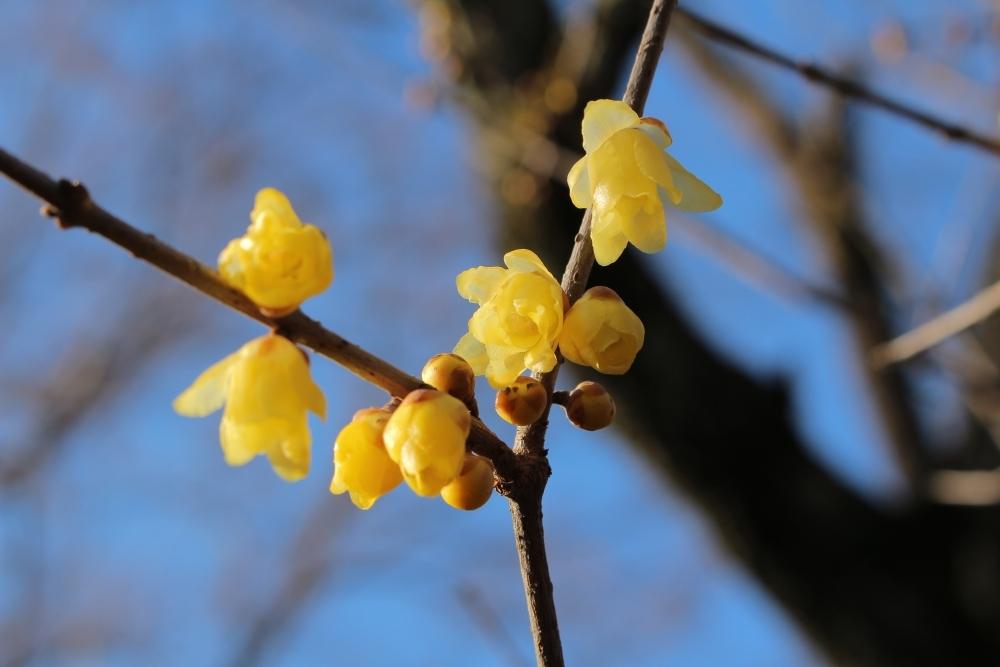 毎年好評の「ロウバイ」の花が見ごろ!「京王百草園」へ草花を見に行こうその1