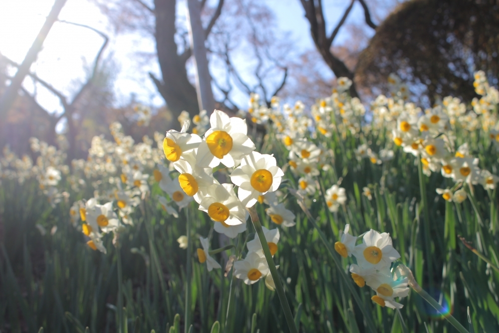 毎年好評の「ロウバイ」の花が見ごろ!「京王百草園」へ草花を見に行こうその3