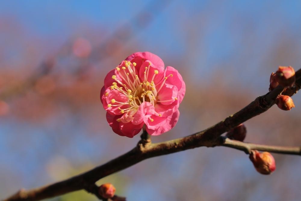 毎年好評の「ロウバイ」の花が見ごろ!「京王百草園」へ草花を見に行こうその4