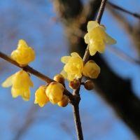 毎年好評の「ロウバイ」の花が見ごろ!「京王百草園」へ草花を見に行こう