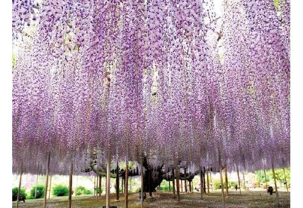「令和」最初のお花見は藤の花から! 全国藤名所3選